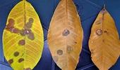스리랑카 농약·화학비료 수입금지 조치로 고무나무 잎사귀병 확산…고무산업 '위태'